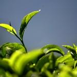 Nelle Terre del Tè: Darjeeling vs Munnar